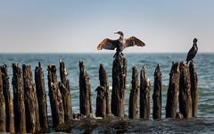 get dry (drummerwinger) Tags: rot canon80d ostsee glowe rügen kormoran wasser strand meer vögel