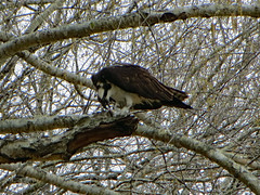 Snack Time For An Osprey. (dccradio) Tags: lumberton nc northcarolina robesoncounty outdoor outdoors outside nature natural bird birdofprey osprey wild wildanimal lutherbrittpark park citypark overcast cloudy greysky graysky largebird perched branch branches tree treelimb treelimbs spring springtime feathers winged saturday saturdayafternoon woods wooded canon powershot elph 520hs