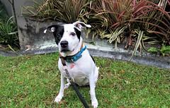 IMG_1254 (pantera photo) Tags: mascotas perros dogs pitbull pit bull pets