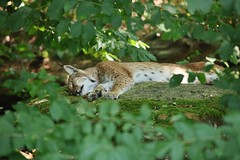 to hot for any action (Hugo von Schreck) Tags: hugovonschreck luchs lynx cat katze yourbestoftoday canoneos5dsr fantasticnature tamronsp150600mmf563divcusda011