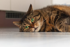 Living obstacle (FocusPocus Photography) Tags: cleo katze cat chat gato tier animal haustier pet