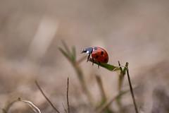 Lady bug 2 (Anne K.R. Photography) Tags: lady bug ladybug denmark canon eos 760d 50mm canoneos760d
