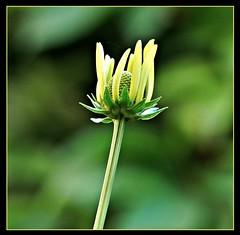 Emerging Cone Flower (ronramstew) Tags: birchmoor garden flower coneflower liverpool stmichaels merseyside