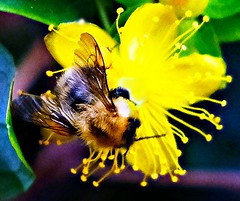bee (eeeyore94) Tags: honey bee colour flower flora pollen manipulated photoscape fuji xt2 busy arty green yellow plants leaves summer buzzy striped