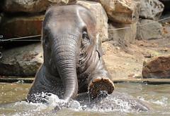 asiatic elephant Blijdorp JN6A0324 (j.a.kok) Tags: olifant elephant asia asiaticelephant azie aziatischeolifant animal blijdorp mammal zoogdier dier herbivore
