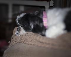 A dog's life (N.the.Kudzu) Tags: home pet dog shihtzu molly canondslr manualfocus primelens lensbabyedge50 flash
