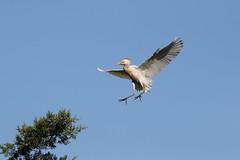 Garça-boieira - (Bubulcus ibis) - Cattle egret (carloscmdm) Tags: natureza selvagem garçaboieira bubulcus ibis cattle egret