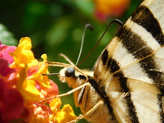 Big butterfly (cami.carvalho) Tags: butterfly borboleta flower flor nature natureza cor colorido