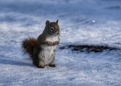 Squirrel, Alberta - Canada (The Voyageur) Tags: squirrel écureuil animal neige snow canada alberta banff jasper winter hiver cold froid nikon nikonpassion nikond750 nikonfrance ngc nature dof sky
