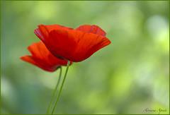 22 aprile 2018 (adrianaaprati) Tags: caffarella fiori april park flowers colors poppies spring grass blur light red green bokeh macro