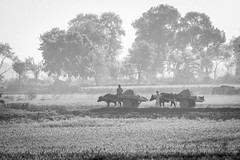 farmers north of Delhi (Robert Borden) Tags: farm ox oxen carts country agra delhi india canon canonphotography canonrebel bw monochrome blackandwhite asia field
