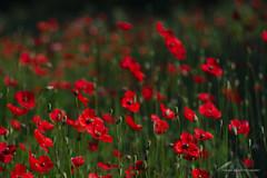 Red Poppy (Capturedbyhunter) Tags: fernando caçador marques fajarda coruche ribatejo santarém portugal pentax k1 tair 11a 135mm 135 28 f28 red poppy flores primavera spring papoilas manual focus focagem foco bokeh dof