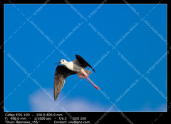 Black-Winged Stilt (__Viledevil__) Tags: adorable animal beak beautiful bird birdlife black blackwinged environment feathers habitat himantopus legs life long longlegged natural nature ornithology outdoor small stilt wader wading water white wild wildlife winged wings