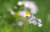 Der Frühling und seine Farben! (baerchen57) Tags: schmetterling wiese blumen makro aurorafalter männlich