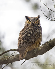 Great-horned Owl (T L Sepkovic) Tags: greathornedowl raptor birdsofprey forest wildlife nature wildlifephotography avianphotography canon 5dmkiv ngc npc