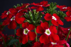 Little red World (Marco_964) Tags: macro closeup red fiore flower pianta natura reflex pentax pentaxk50 rosso macroambientale nature