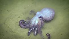 Octopus (NOAA Ocean Explorer) Tags: noaa okeanosexplorer octopus gulfofmexico explore science