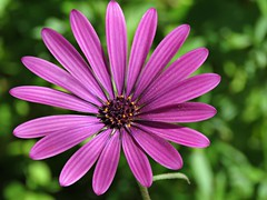 Osteospurmum! ('cosmicgirl1960' NEW CANON CAMERA) Tags: flowers worldflowers parks gardens nature insects bugs marbella spain espana andalusia costadelsol travel holidays yabbadabbadoo