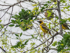 Village weaver (Vincent Jolicoeur) Tags: mauritius weaver bird yellow wildlife cascavelle