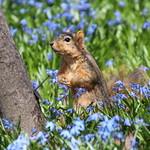 316/365/3603 (April 23, 2018) - Squirrels in Ann Arbor at the University of Michigan (April 23rd, 2018) thumbnail