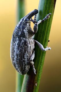 Larinus sp.