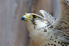 Spread your wings ... (Andriy Golovnya (redscorp)) Tags: saker falcon sakerfalcon sakerfalke falke bird vogel wildpark poing wildparkpoing sun sunny day beautiful light