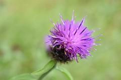 (carmenpartington) Tags: flower colour purple vibrant cumbria detail lakedistrict walk ambleside rydal