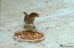 Voilà, mon petit pensionnaire est content :-) (Jean-Daniel David) Tags: oiseau moineau closeup grosplan nature gamelle noisette repas yverdonlesbains suisse suisseromande vaud