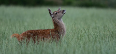 Red Deer (wildwalker3) Tags: reddeer deer leightonmoss fawn