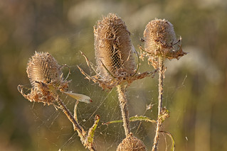 Thistles And Spiders