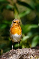 721A3287 (Chris Clicks Photography) Tags: 100400 bird birdphotography birdwatching birds canon canon7dmkii canonef100400f4556lisiiusm canon7dmarkii chrisclicks leightonmoss photo photography robin wildlife canon100400usmii canon7dmark2