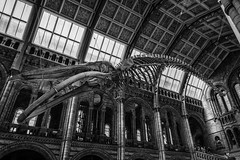 DSC07868-Edit.jpg (Nils Scarbro) Tags: naturalhistorymuseum blackandwhite sonyalpha skeleton bluewhale highcontrast kensington monochrome a6000 silverefexpro epz1650mmf3556oss london
