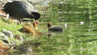 American Coot and Chicks