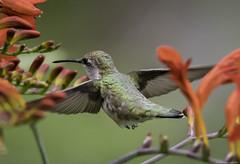 Ruby-throated Hummingbird female (Dave Hollender) Tags: blueheronfarm crocosmialucifer rubythroatedhummingbirdarchilochuscolubrisfemale bird flower inflight