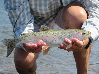 Yellowstone River Rainbow Trout