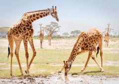 Giraffes drinking (Photobirder) Tags: giraffesdrinking amboseli eastafrica kenya