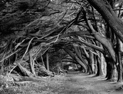 Cypress Tunnel - Half Moon Bay (Cimbaso) Tags: xtol kodak 4x5 large format analog film canham bw blackandwhite tmax100