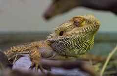 A focused dragon (Aresio) Tags: beardeddragon dragon pogona oasidisantalessio italy animal reptile