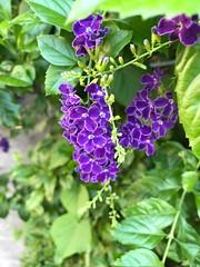 Purple flower (光輝蘇) Tags: 清大3 morning kk