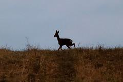 Red deer doe (Paul Brunt) Tags: deer red doe wildlife ulleycountrypark ulley sheffield rotherham southyorkshire yorkshire england uk unitedkingdom