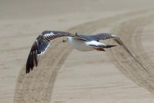 Lesser Black-backed Gull, Second Summer 8/8