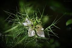 Nigella Damascena (HiJinKs Media...) Tags: flowers flower flora life light seasons details delicate new garden bokeh spiky green white nature natura plant macro