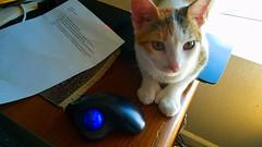 Trackball Mouse and Tallahassee (EmperorNorton47) Tags: portolahills california photo digital summer cat kitten tabico caliby calico tabby trackball computer
