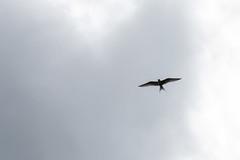 Tern Silhouette (oandrews) Tags: 30dayswild animal animals bird birds canon canon70d canonuk greatfen nature outdoors tern wildlife woodwaltonfen ramseyheights england unitedkingdom gb