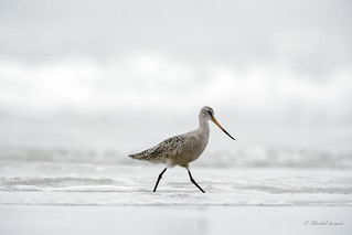 Just strolling along the beach - Marbled Godwit