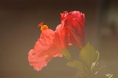 hibiscus et brume de chaleur (guy dhotel) Tags: brume chaleur hibiscus flower