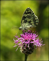 Male Marbled White - Knapweed nectarer (glostopcat) Tags: marbledwhitebutterfly butterfly insect invertebrate june summer glos knapweed wildflower butterflyconservation prestburyhillnaturereserve