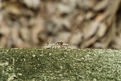 DSC01350.jpg (joe.spandrusyszyn) Tags: unitedstatesofamerica circlebbarreserve lakeland florida nature byjoespandrusyszyn lepidoptera polkcounty animal insect moth arthropod erebidae