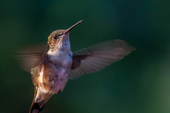 happy day (jimmy_racoon) Tags: canon 400mm f56l 5d mk2 rubythroated birds happy hummingbird nature prime canon400mmf56l canon5dmk2