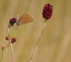 Phengaris nausithous 1 (ewa.b.sliwinska) Tags: sanguisorba phengaris nausithous female humid grassland sliwinska